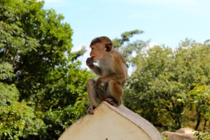 Monkey at Dambulla